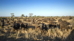 African buffalo herd in Kruger National park. Specie Syncerus caffer family of bovidae, African bush elephant in Kruger National park Royalty Free Stock Images