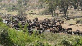 African buffalo herd stock footage