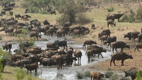 African buffalo herd stock video