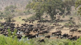 African buffalo herd stock video footage
