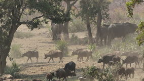 African buffalo herd stock video