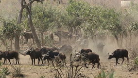 African buffalo herd stock footage