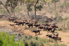 African buffalo herd royalty free stock photos