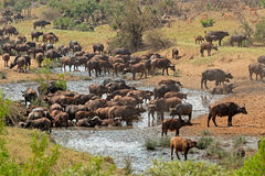 African buffalo herd Stock Photo