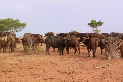 African Buffalo Herd - Safari Kenya. A big herd of african buffalo, Syncerus caffer, in Park Tzavo, Kenya Royalty Free Stock Image