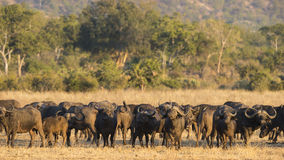 African Buffalo herd Stock Images