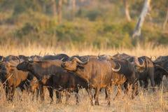 African Buffalo herd Stock Photos