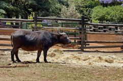 African buffalo in Johannesburg zoo Stock Photo