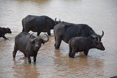 African buffalo  in Kenya Royalty Free Stock Images