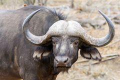 African Buffalo at Kruger National Park, South Africa Royalty Free Stock Image