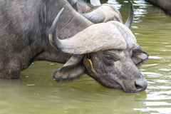 African Buffalo at Kruger National Park, South Africa Stock Photography