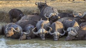 African buffalo in Kruger National park, South Africa. Specie Syncerus caffer family of Bovidae royalty free stock images
