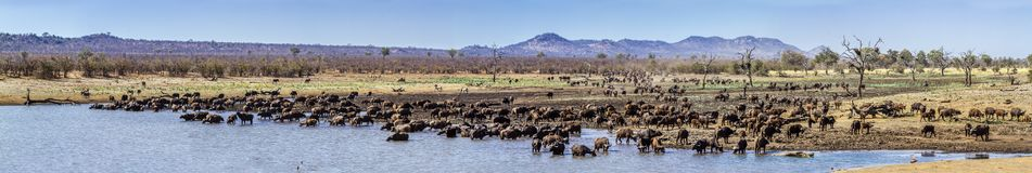 African buffalo in Kruger National park, South Africa. Specie Syncerus caffer family of Bovidae royalty free stock image