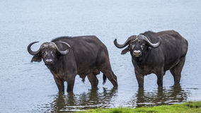 African buffalo in Kruger National park, South Africa Stock Photos