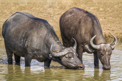 African buffalo in Kruger National park, South Africa Stock Photography