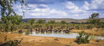 African buffalo in Kruger National park, South Africa Royalty Free Stock Photos