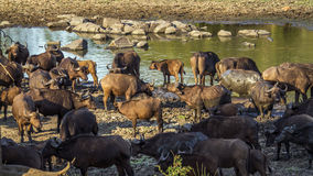 African buffalo in Kruger National park, South Africa Stock Photo