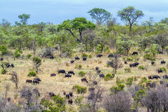 African buffalo in Kruger National park, South Africa Royalty Free Stock Photo