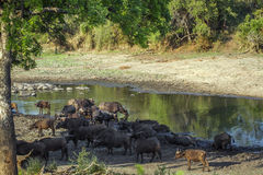 African buffalo in Kruger National park, South Africa Stock Image
