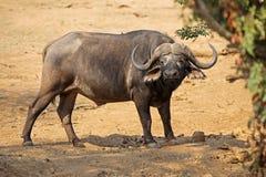 African buffalo - Kruger National Park Stock Photos