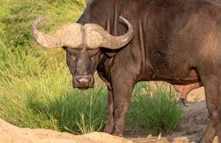 African Buffalo looking angry / hangry / hungry. Photographed at Kruger National Park in South Africa. royalty free stock photography
