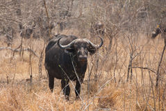 African buffalo looking Stock Photo