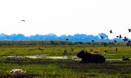 African Buffalo lying in grass while birds are flying. African Buffalo Syncerus caffer lying in green grass while birds are flying over him. Crocodile are lying royalty free stock image