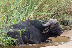 African Buffalo Lying In River Bed Royalty Free Stock Photo