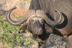 African Buffalo male Royalty Free Stock Images