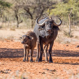 African Buffalo Mother And Calf Royalty Free Stock Image