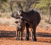 African Buffalo Mother And Calf Royalty Free Stock Photo