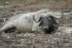 African buffalo mud bath Stock Images