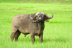 African buffalo, Ngorongoro Crater, Tanzania Stock Photos