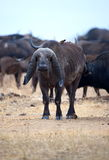 African Buffalo. An old buffalo with deformed horns Royalty Free Stock Photo