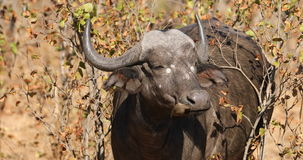 African buffalo with oxpecker bird stock video footage