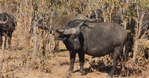African buffalo with oxpecker birds stock video