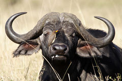 African buffalo with oxpecker, Kenya Stock Photo