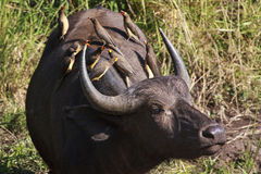 African Buffalo with oxpeckers. African buffalo at Kruger Park with oxpeckers on its back Stock Images