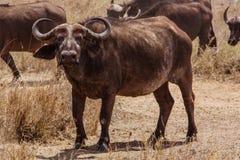 African buffalo. Photo taken during the safari in Serengeti National park. Tanzania stock photo
