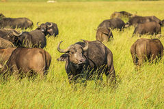 African buffalo. Herd of African or Cape buffalo pictured in grassland of the Serengeti National Park, Tanzania, Africa. The buffalo is part of the Bid five Royalty Free Stock Photography