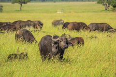 African buffalo. Herd of African or Cape buffalo pictured in green grassland of the Serengeti National Park, Tanzania, Africa. Bid five Royalty Free Stock Photography