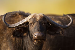 African buffalo portrait. ( Syncerus caffer - Kruger National Park - South Africa stock images