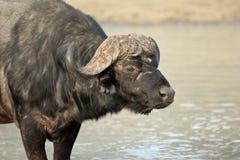 African buffalo portrait Royalty Free Stock Photos