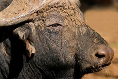 African buffalo portrait. Portrait of an African (Cape) buffalo bull (Syncerus caffer), South Africa royalty free stock photography