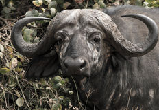 African Buffalo Portrait. Headshot of an African Buffalo (Syncerus Caffer), Serengeti, Tanzania stock images