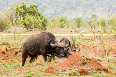 African buffalo portrait with birds Royalty Free Stock Photography