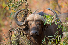 African buffalo portrait. Portrait of an African or Cape buffalo (Syncerus caffer), Kruger National Park, South Africa royalty free stock photo