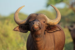 African buffalo portrait. Portrait of an African or Cape buffalo (Syncerus caffer), Mokala National park, South Africa stock images
