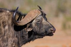 African buffalo Stock Photography