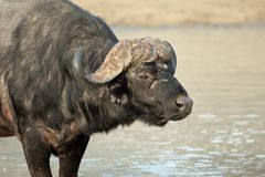 African buffalo portrait. Portrait of an African or Cape buffalo (Syncerus caffer), South Africa stock images